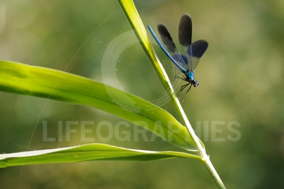 Some dragonfly wings are glowing beautiful blue glow.