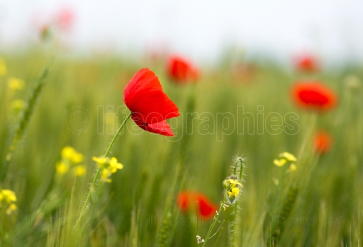 Some poppies on green field in sunny day