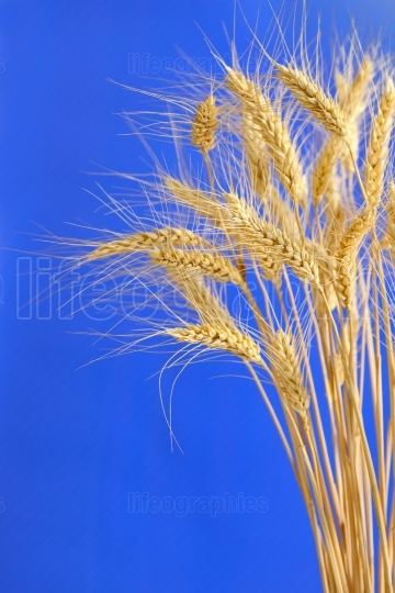 Spikelets and grains of wheat