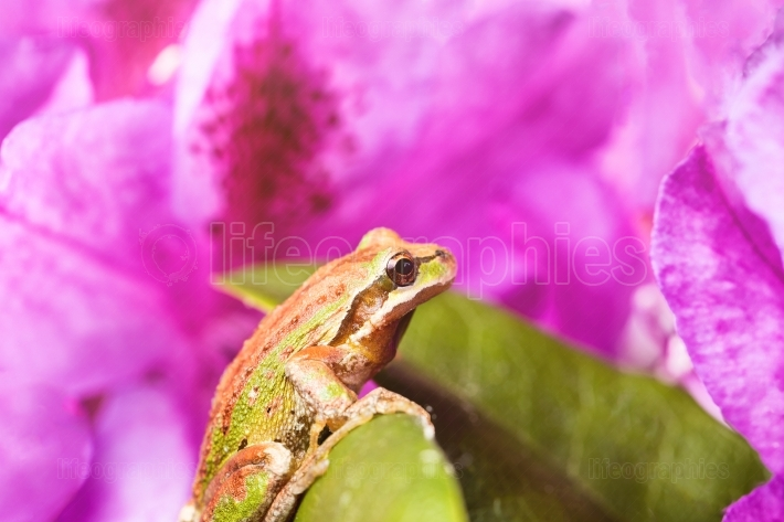 Spring peeper frog inside of wild flowers during bright daylight
