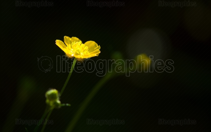 Spring yellow flower over black