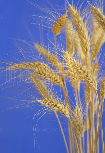 Stems of wheat against blue sky