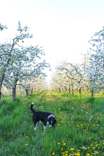 Stray dog in an apple orchard