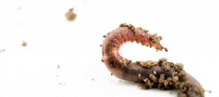 Studio shot of an earthworm