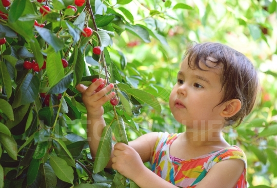 Summer portrait of a cute little girl plucks cherries in the garden