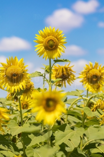 Sunflower field landscape. Be different concept.