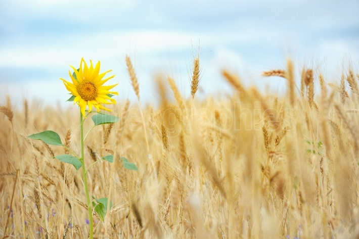 Sunflower isolated in wheat field