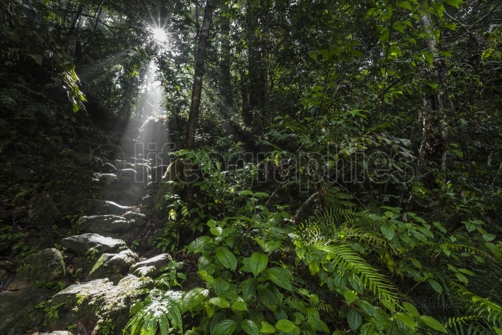 Sunlight rays pour through leaves in a rainforest at sinharaja f