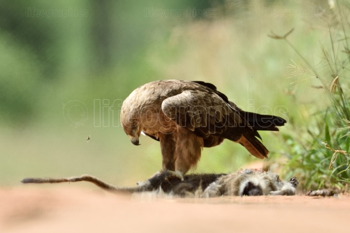 Tawny eagle (Aquila rapax) eating