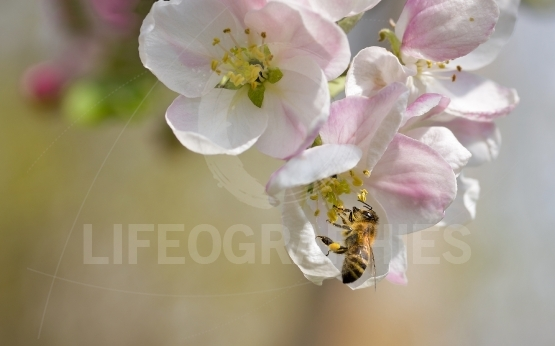The bee collects pollen from Flowers of apple