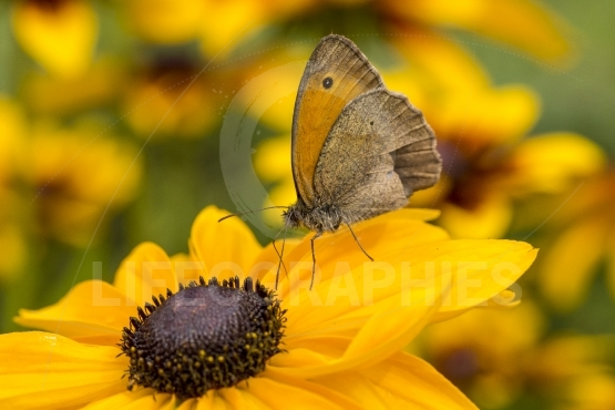 The butterfly on flower of rudbeckia
