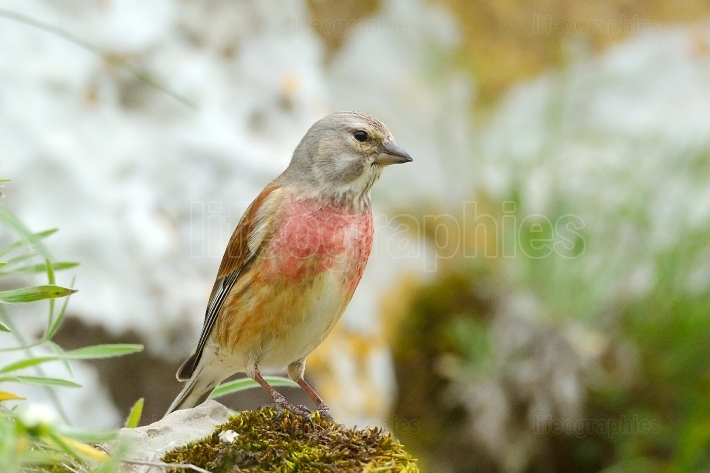 The Common Linnet (Carduelis cannabina)