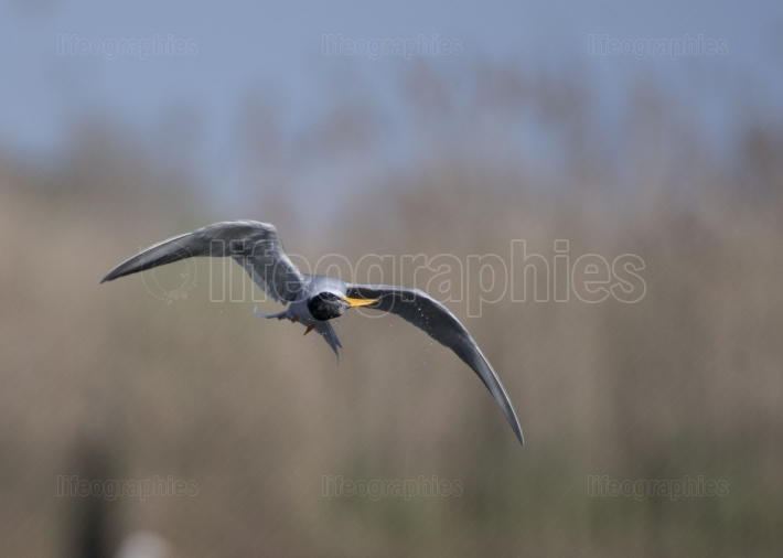 The River tern