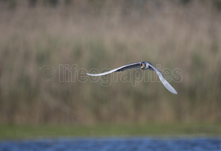 The river tern flying with fish