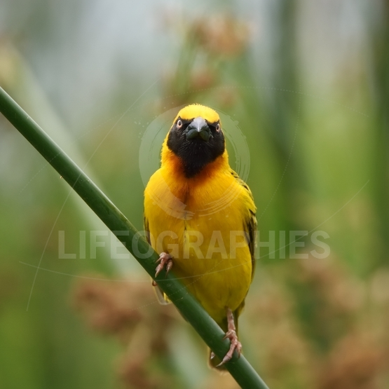 The southern masked weaver or African masked weaver (Ploceus vel