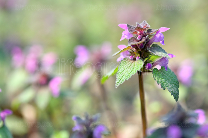 The Spotted Dead Nettle Lamium Maculatum