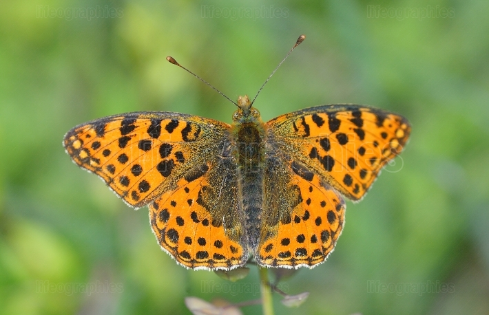 The spotted fritillary or red band fritillary (Melitaea didyma)