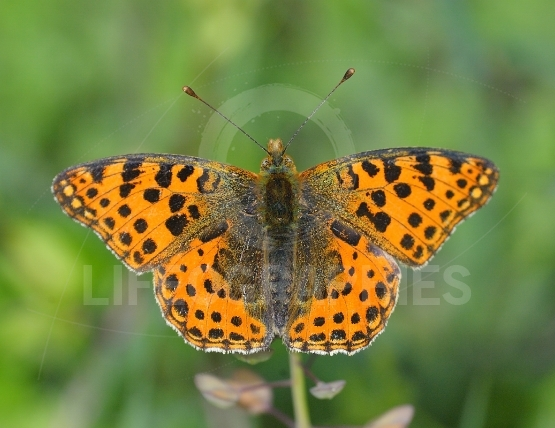 The spotted fritillary or red-band fritillary (Melitaea didyma)