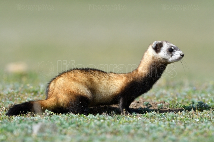 The steppe polecat (Mustela eversmanii)