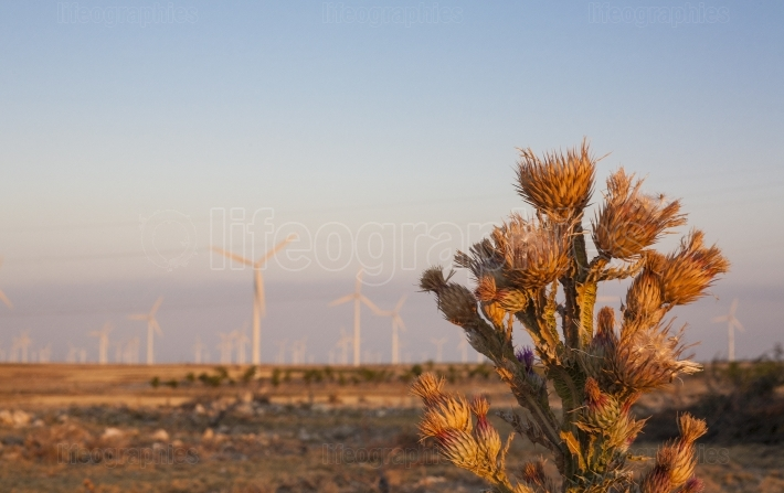 Thistle at wind turbines farm on arid landscape