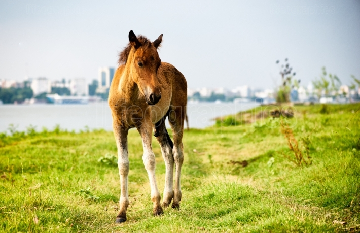 Thoroughbred foal standing alone in pasture