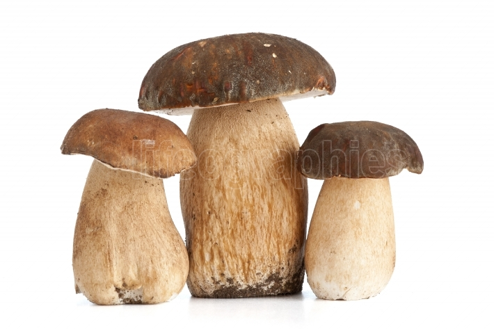 Three Boletus Edulis