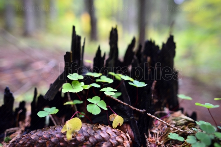 Three leaf clovers in the wood