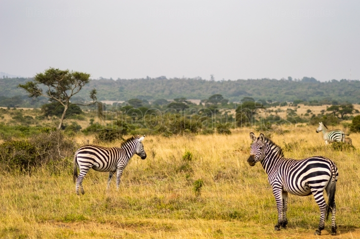 Three Zebras, one with the right look in the savannah of Nairobi