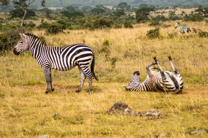 Three Zebras with one rolling on the ground to scratch in the sa