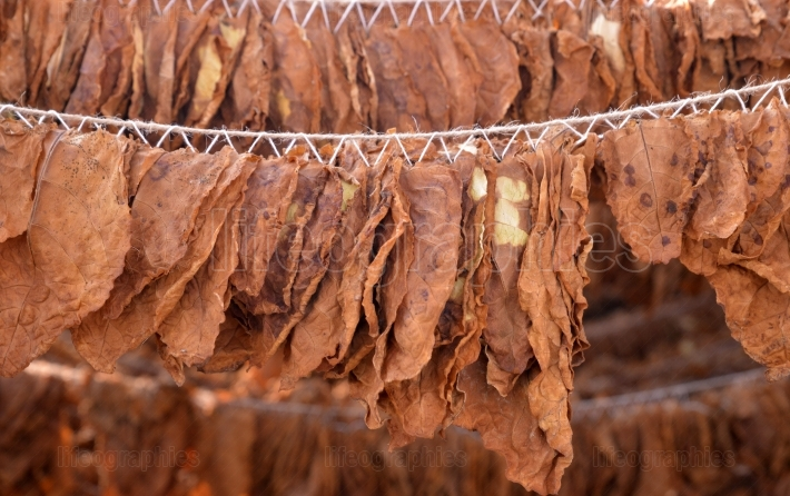 Tobacco leaves drying in the shed