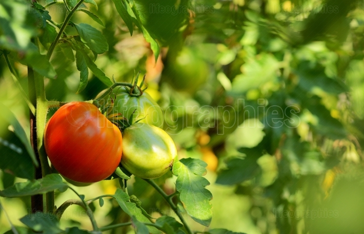 Tomatoes growing on the vine