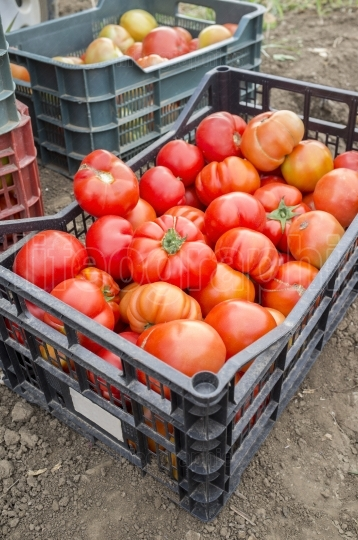 Tomatoes just collected at local farm  Sustainable agriculture
