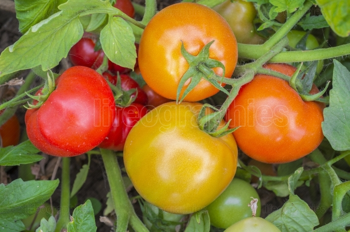 Tomatoes on plant with different maturation stage