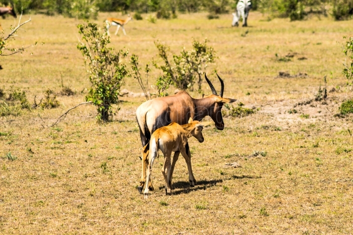 Topi and his baby grazing in the savannah of Masai Mara Park in