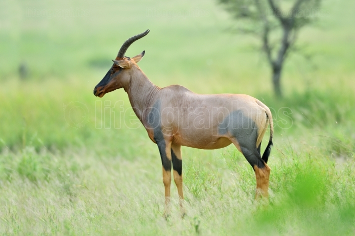Topi antelope in african natural park