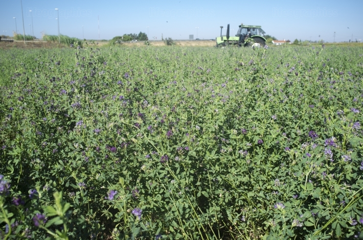 Tractor cutting and swathing alfalfa