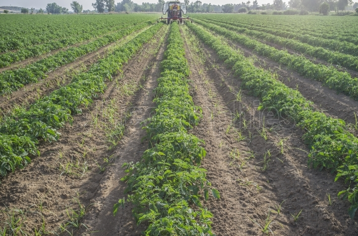 Tractor spraying pesticides over young tomato plants