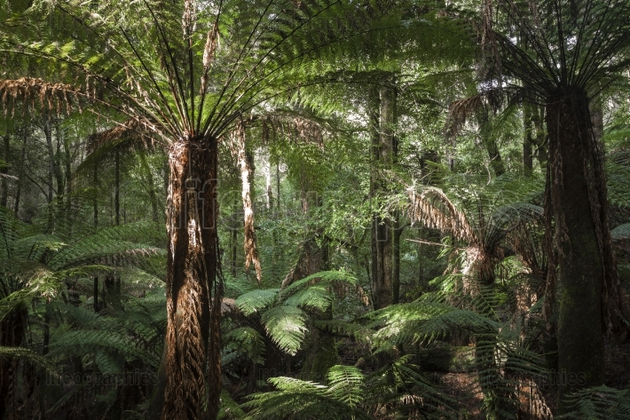 Tropical forest in mount field national park, tasmania  australi