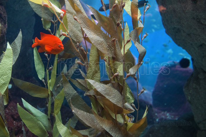 Tropical red mammon fish