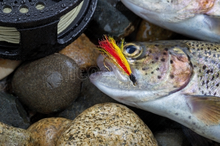 Trout Fly in mouth of Trout