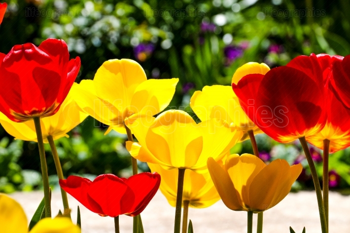 Tulips in a garden . spring theme