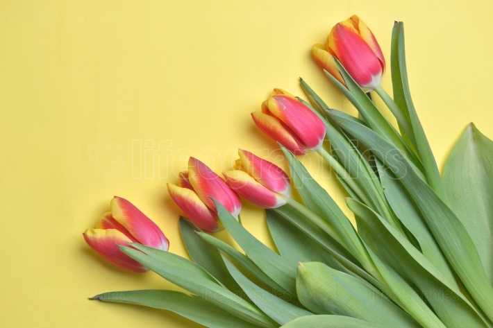 Tulips over yellow background