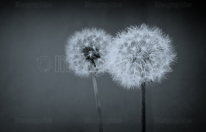 Two dandelion balls