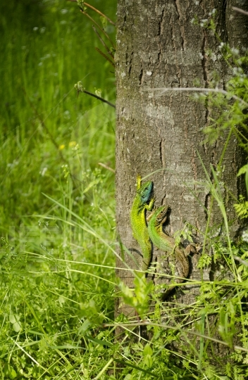 Two green lizards on a tree bark