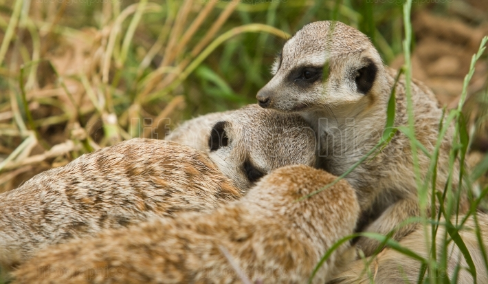 Two meerkats playing