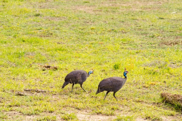 Two vulturine guinea fowls in the countryside of Amboseli Park i