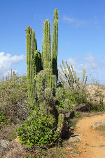 Vegetation of Aruba, ABC Islands