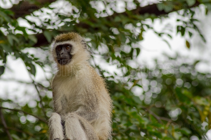 Vervet monkey sitting on a wall in the savannah of Amboseli Park