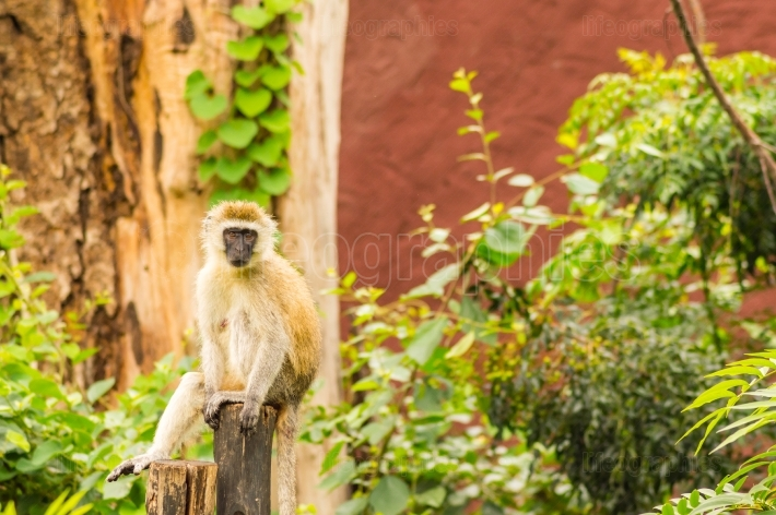Vervet monkey sitting on a wooden post in the savannah of Ambose