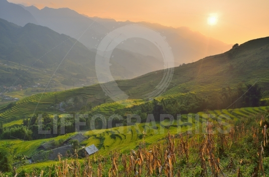 Vietnam rice paddy field at sunset